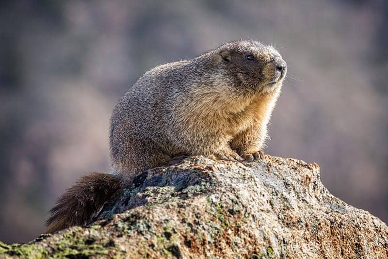 Groundhog Day Originated In Europe