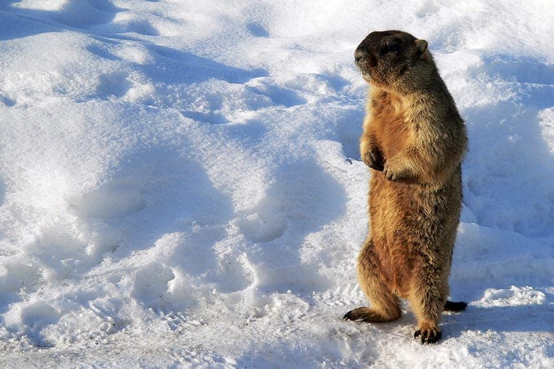 Groundhogs Aren't Prolific Breeders​