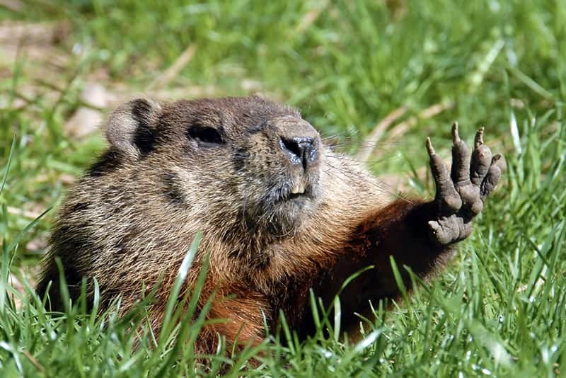 Groundhogs Have Hard Skulls