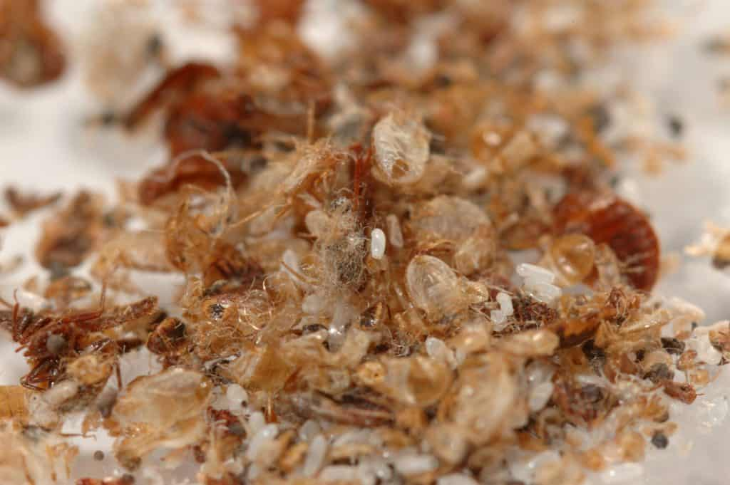 bed bug waste