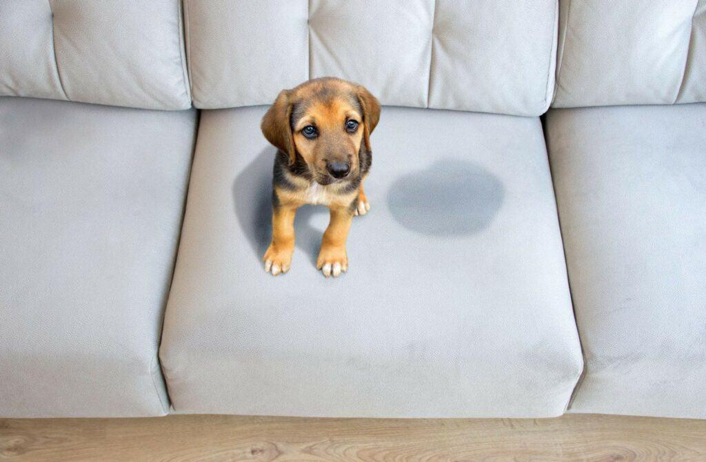 A Puppy Sitting Near Wet or Piss Spot on the Mattress