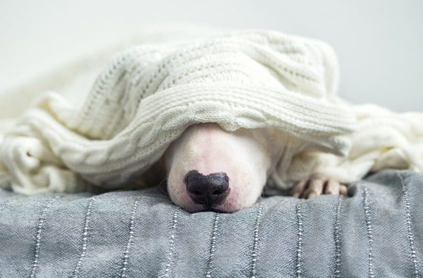 A cute dog is sleeping on a bed under a white knitted blanket.