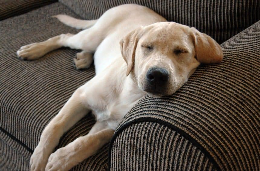 A Cute Puppy taking a nap on couch